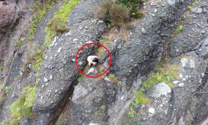 2 gündür mahsur kalan keçi kurtarılmayı bekliyor