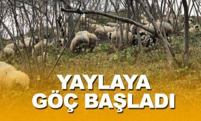Koyun sürüleri yayla yolunda