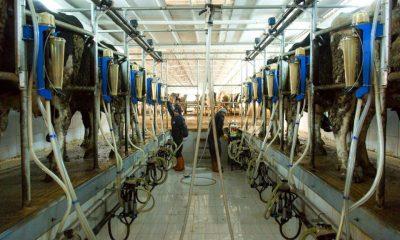 Amasya'da günlük 60 ton çiğ süt toplandı