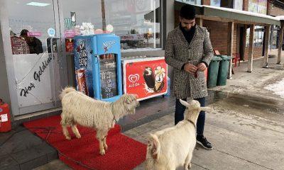 İş yerinde iki keçi besliyor