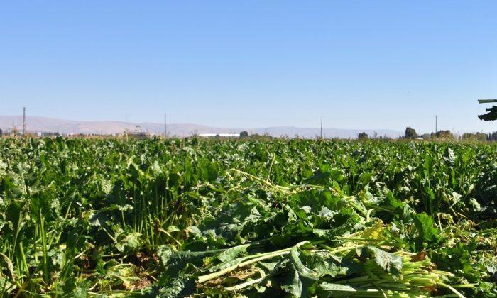 Samsun'da şeker pancarı üretimi 430 bin tondan 66 bin tona düştü