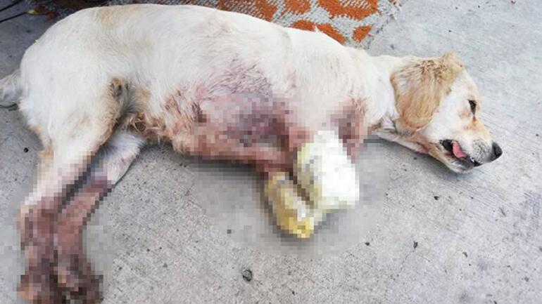 Dursun artık bu vahşet Tavukları kovalayan Pamuk'un ön iki bacağını önce kırıp sonra kestiler...
